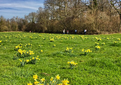 Kemply daffodils